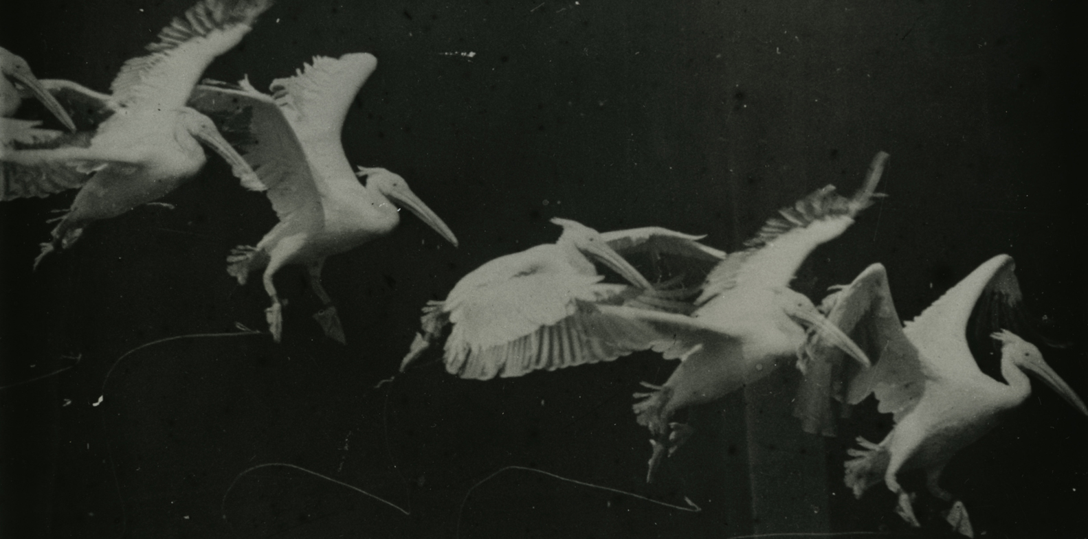 Étienne-Jules Marey. Bird Flight, Pelican, 1886. Source: Wikimedia Commons, image in public domain (PD-1923).